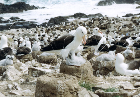 FALALB0013 - Black-Browed Albatross
