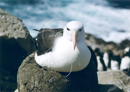FALALB0008 - Black-Browed Albatross