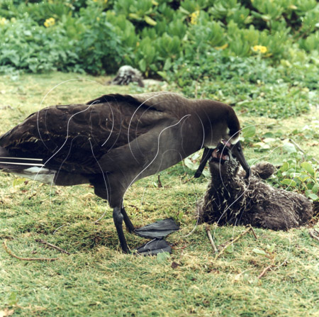 MIDALBB021 - Black-Footed Albatross