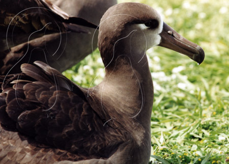 MIDALBB010 - Black-Footed Albatross