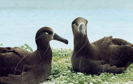 MIDALBB005 - Black-Footed Albatross