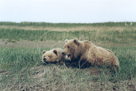 ALABEA0027 - Brown Bear